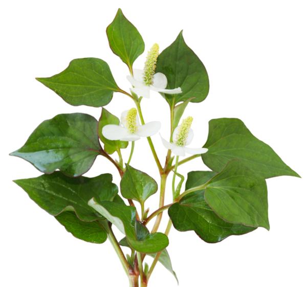 Houttuynia cordata heartleaf lizardtail fish herb plant