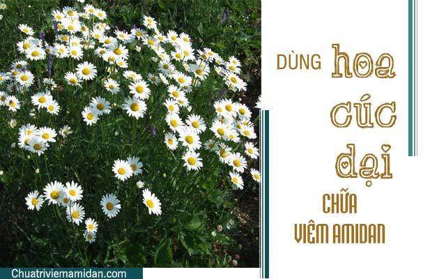 Chữa amidan tại nhà bằng hoa cúc dại