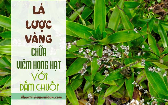Dùng cây lược vàng điều trị viêm họng hạt